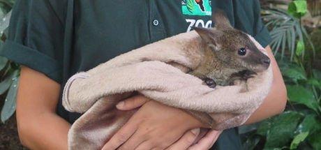 Annesini kaybeden yavru kanguruya özenle bakılıyor