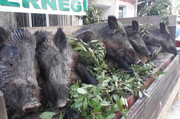 Balıkesir'de vurdukları domuzlarla tören geçişi yaptılar