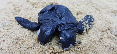 Çift başlı yavru deniz kaplumbağası görenleri şaşırttı
