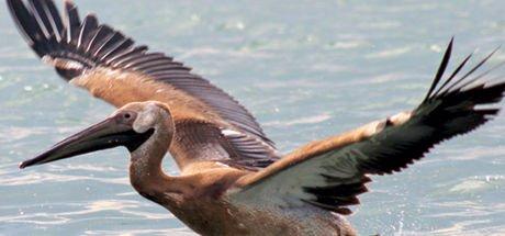 Gala Gölü uzun gagalı misafirlerini ağırlıyor