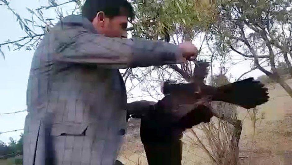 Kilis şahin