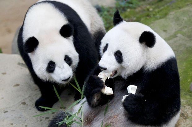 Panda diplomasisi: Çin'in diplomat pandaları Endonezya'da