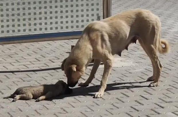 köpek yavru kahramanmaraş