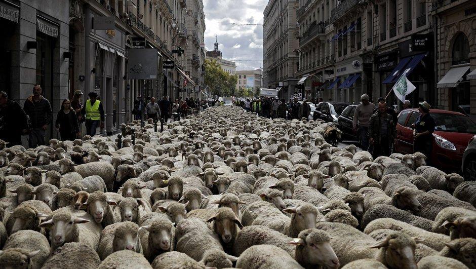 Fransa'da binlerce koyun kurtları protesto etti