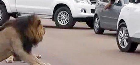 Yola çıkan aslan, ilgi çekti
