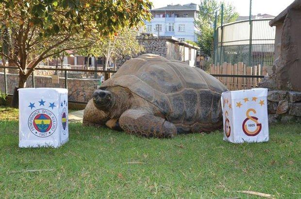 Kaplumbağa 'Tuki'nin derbi tahmini merak uyandırdı