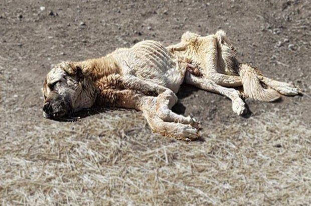Sivas Şarkışla'da açlıktan ölmek üzereyken bulunan köpek hayata döndürüldü