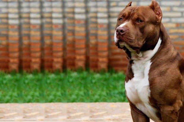 Avustralya'da pitbull, sahibini öldürdü