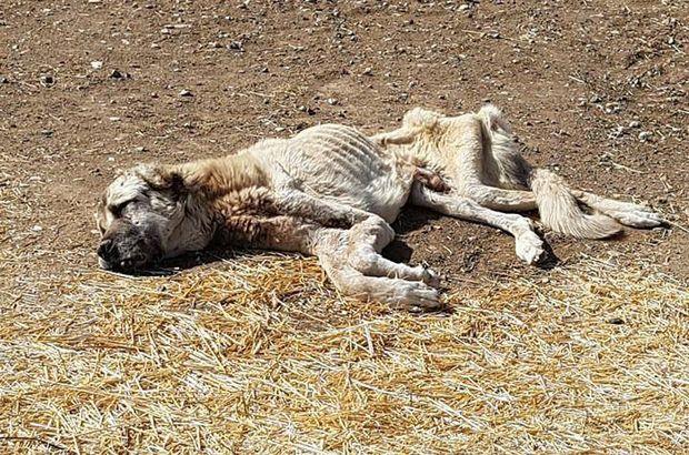 Sivas'ta ölmek üzereyken bulunan köpek kan nakli ile hayata döndü