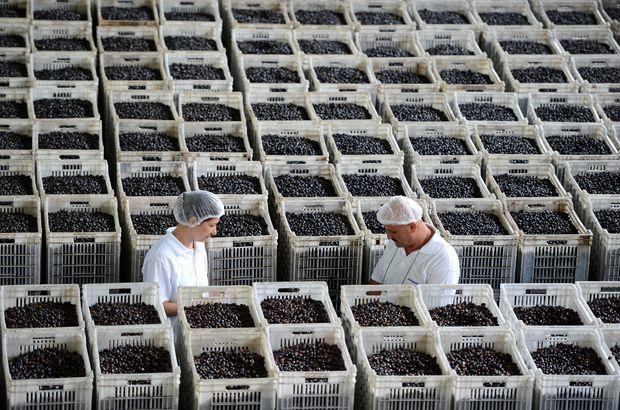 MarmarabirliK Katar'a Gemlik zeytini gönderecek