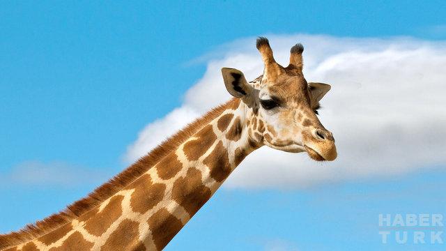 İber Yarımadasında 9 milyon yıllık zürafa fosili bulundu 36