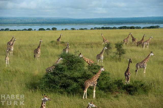 İber Yarımadası'nda 9 milyon yıllık zürafa fosili bulundu