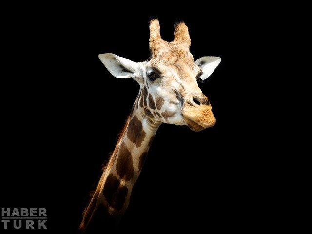 İber Yarımadasında 9 milyon yıllık zürafa fosili bulundu 16