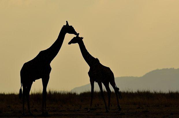 İber Yarımadasında 9 milyon yıllık zürafa fosili bulundu 99