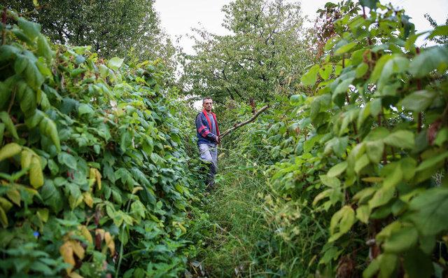 Bursa'da kestane hasadı günde 250 TL kazandırıyor