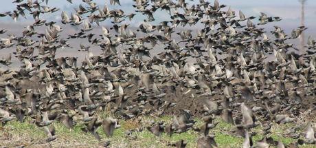 Manyas Gölü semalarında sığırcık kuşlarının görsel şöleni!