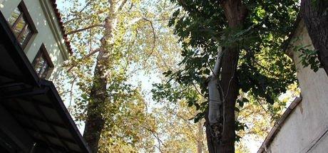 Dut ve incir ağacının 20 yıllık aşkı