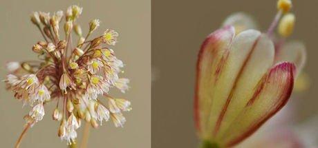 İstanbul'da yeni bir endemik bitki türü (Allium istanbulenese) keşfedildi