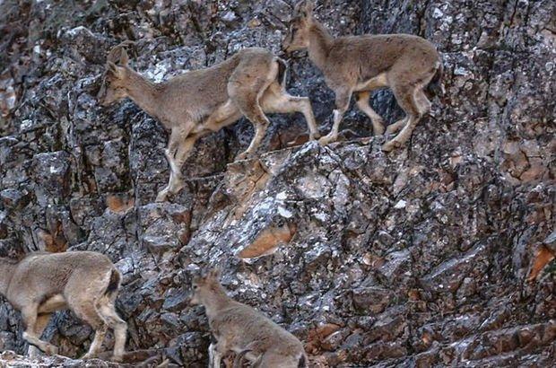 Dağ keçisi ölümleri Meclis gündeminde