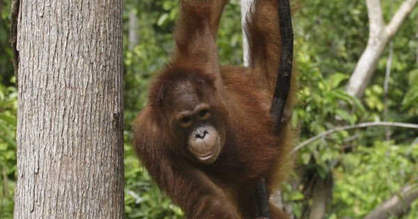 Orangutanları neden kurtarmalıyız?