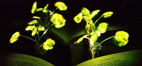 Bilim insanları parlayan bitki yarattı