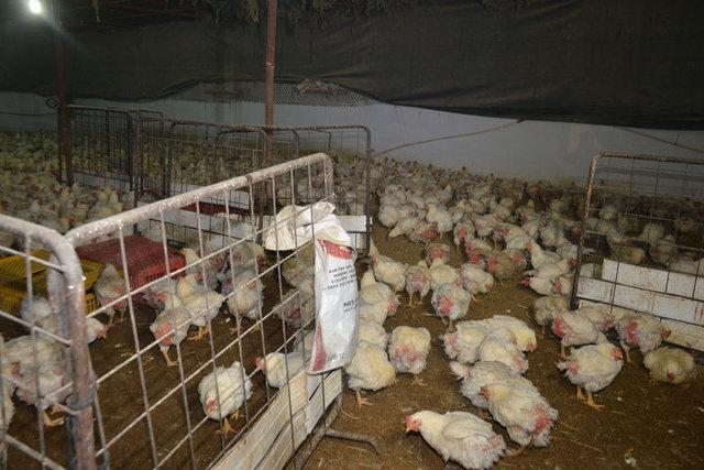 3 tavukla başladı, 3 bin tavuklu çiftliğin sahibi oldu
