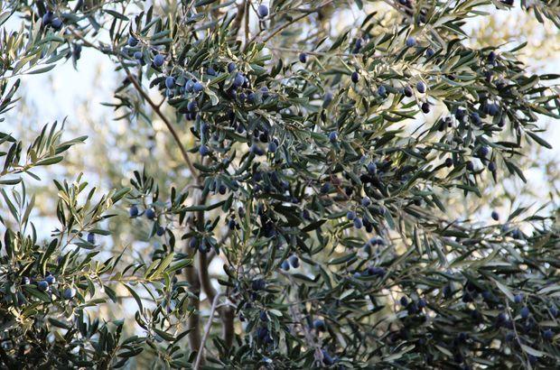 Cezaevi firarisi çıktığı zeytin ağacında yakalandı