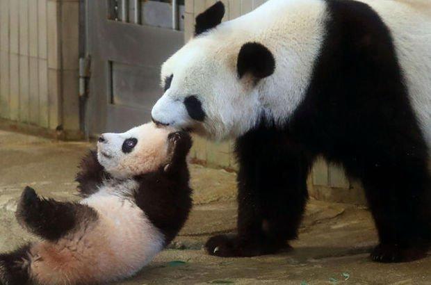 Çin'de panda dışkısından tuvalet kağıdı üretildi