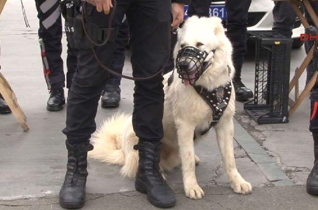 Yılbaşı gecesi kangallar ve akbaşlar da İstanbul sokaklarında olacak