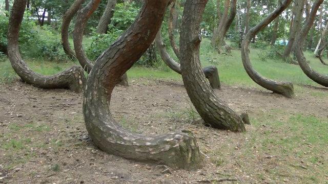 Polonya'daki eğri orman gizemini koruyor!