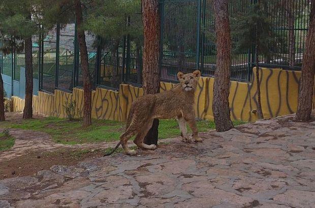Cumhurbaşkanı Erdoğan'a hediye edilen aslanlar Gaziantep'te