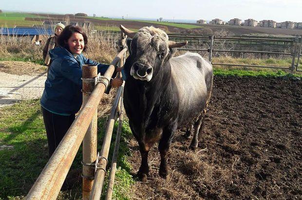 Türkiye'nin klonlanan ilk sığırları Tekirdağ'a getirildi