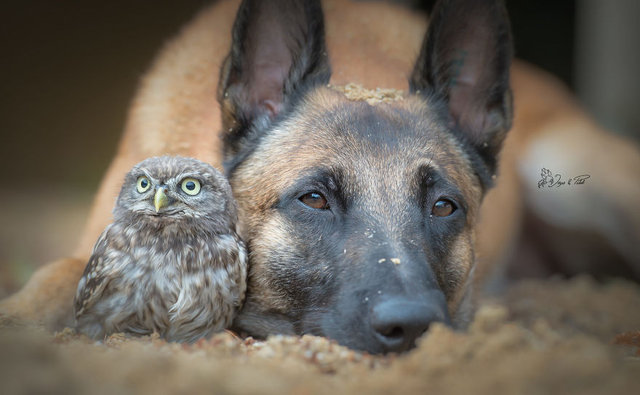 Baykuş ile köpeğin sıra dışı dostluğu