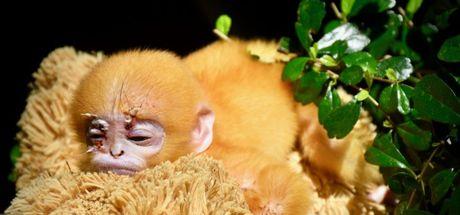 Öksüz maymuna oyuncak ayıdan anne yaptılar