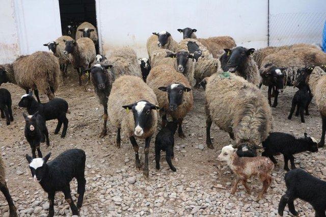 8 koyun bir yılda 77 tane oldu