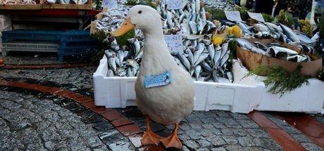 Balıkçıların hamsiyle beslediği ördek, pazarın maskotu oldu