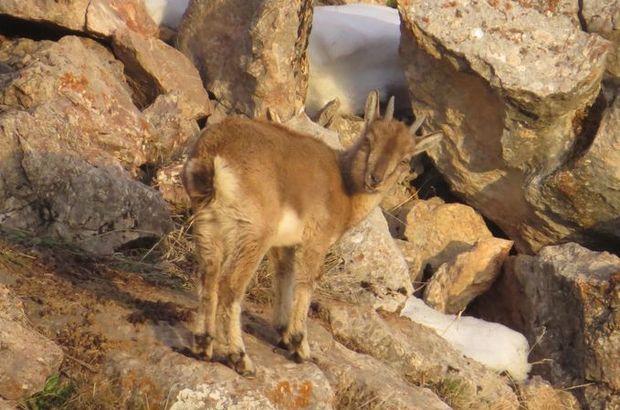 yavru keçi