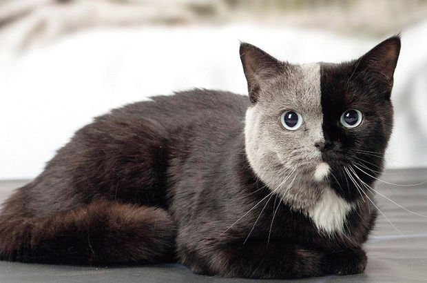 İki renkli kedi görenleri şaşırttı