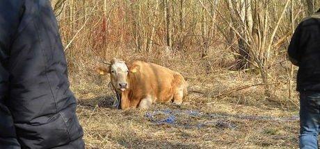 Polonya'daki özgür inek yakalanınca stresten öldü