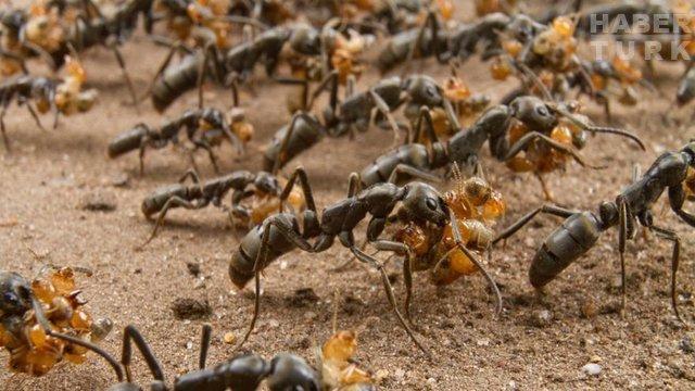 Doktor karıncalar yaralıları nasıl kurtarıyor?
