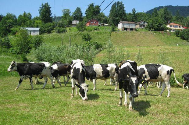 inek sütü üretimi