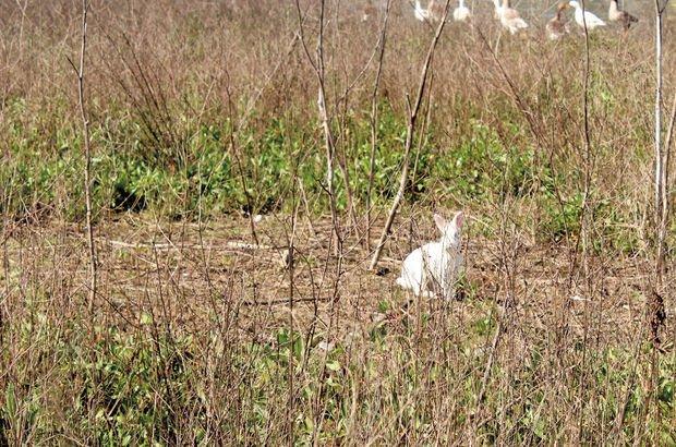 Haliç tavşanı
