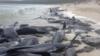 Avustralya'da 150'ye yakın balina karaya vurdu