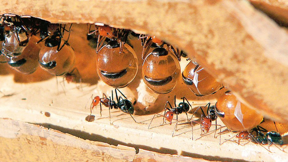Kendinizi alıştırın, kısık ateşte az yağlı karınca larvası ve dahası!