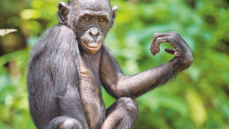 Neden şempanzelerden daha zekiyiz?