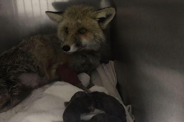 Kaza sonucu felç olan tilki 3 yavru dünyaya getirdi
