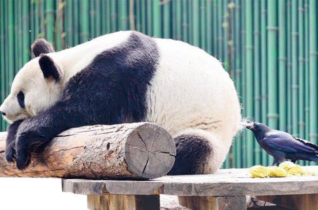Karga panda