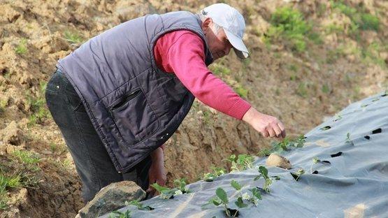 Meyve vermeden bahçeden satıldı! Osmanlı çileğine yoğun ilgi