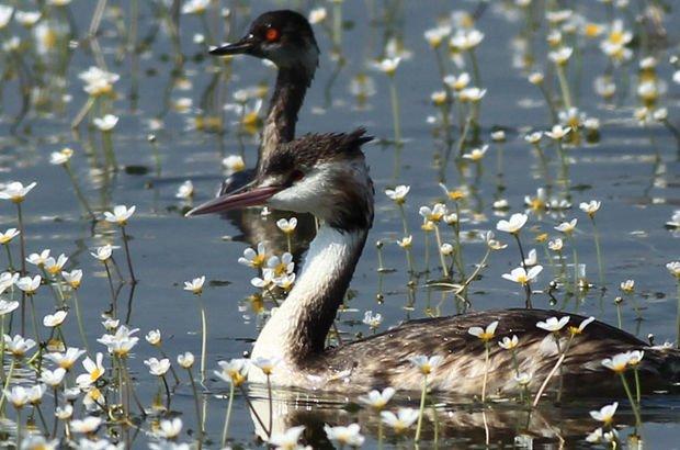 Kızılırmak Deltası'na göç eden kuşlardan kartpostallık görüntüler!