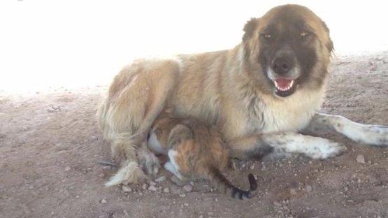 Kangal köpeği yavru kediye annelik yapıyor